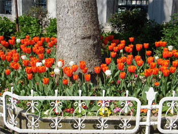 Tulips - The Turkish Traditional Flower (NOT from Holland!)