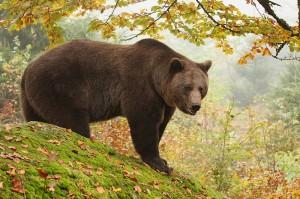 slovakia-bear