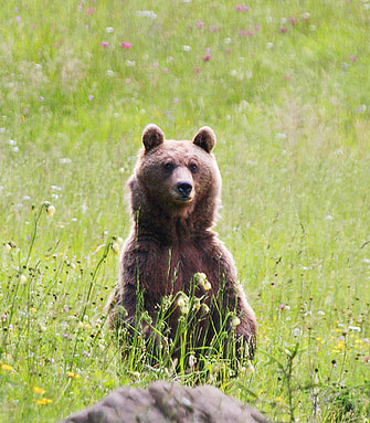 Female Bear in Slovenia