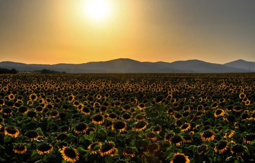 Serbian Sunflowers