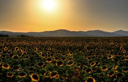 Serbian Sunflowers